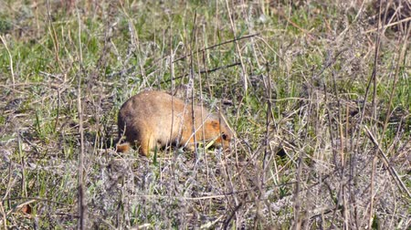 wiewiórka : The gopher eats grass after winter hibernation Wideo
