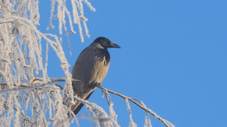 когти : Gray crow on birch branches covered with hoarfrost against a blue sky. Camera zooming Стоковые видеозаписи