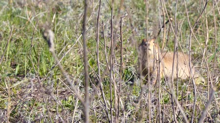 squirrel fur : Gopher looks into the camera then eats grass. The gopher eats grass after winter hibernation