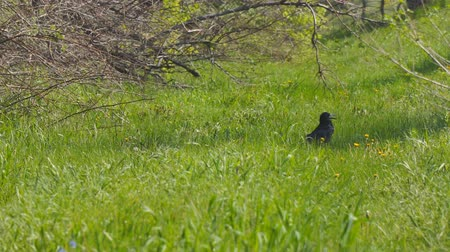 enviroment : Black bird rook walks on green grass