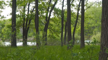 lelietjes van dalen : View of a lake or river through a forest through oak trees. Camera panning
