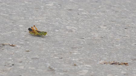 haşarat : Locust crawling on an asphalt road. Locust invasion Stok Video