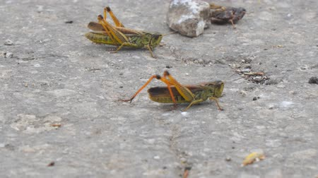 haşarat : Locust crawling on an asphalt road. Locust invasion. Selective focus