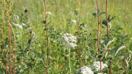 homeopathic : White meadow flower yarrow on natural background. Selective focus Stock Footage