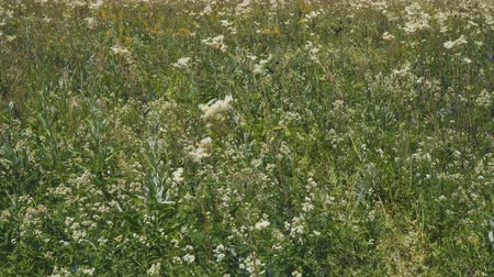 homeopathic : White meadow flower yarrow on natural background. Summer meadow with white flowers