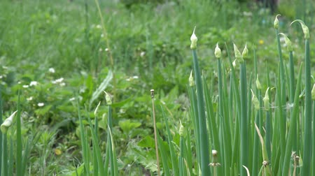 リーキ : Green onions in the garden