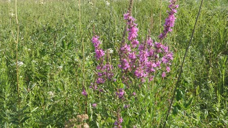 reddish : Pink meadow flower. Lythrum salicaria, spiked loosestrife, purple loosestrife, or purple lythrum