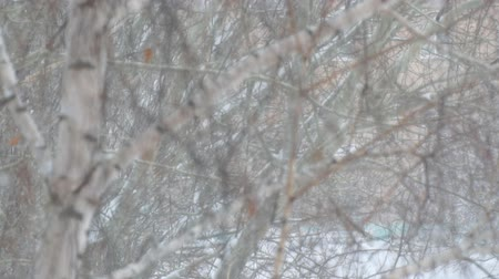 esparso : Heavy snow falls, snowstorm on the background of trees. Slow motion. Soft focus