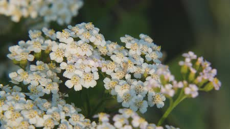 homeopati : White meadow flower yarrow on natural background. Close up Stok Video