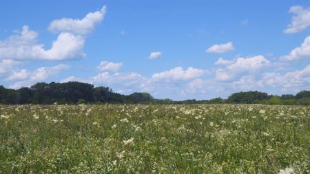 homeopathic : Summer meadow with white flowers. White meadow flower yarrow. In the distance see the forest. Camera panning