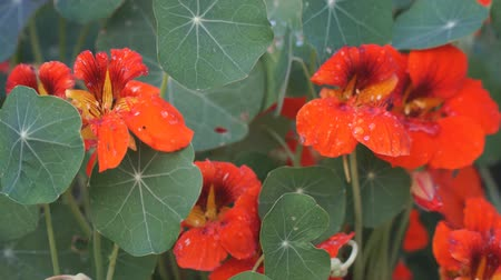 park paths : Nasturtium flowers on a natural background of green leaves