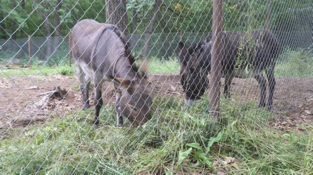 mal cheiroso : Two donkeys in the aviary eating fresh hay Stock Footage