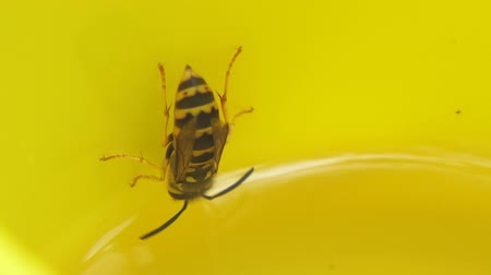 morrer : Wasps flew into a yellow mug and drink lemonade. Close up Stock Footage