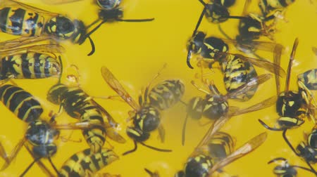 スティンガー : Dead wasps in a yellow circle close-up. Wasps drowned in lemonade