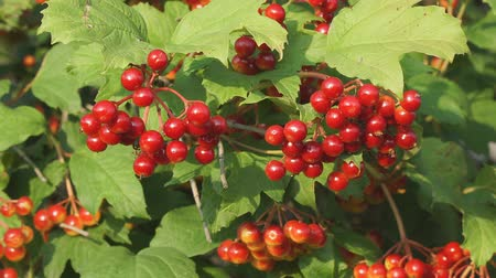 tosse : Red berries of viburnum on a Bush Vídeos
