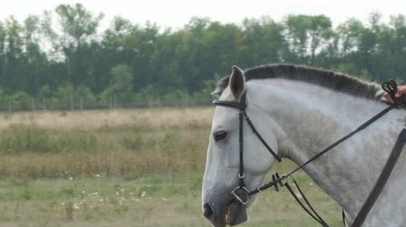 draver : Portrait of a white horse in a bridle and trimmed mane