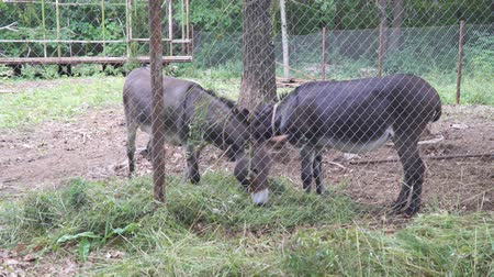 tur : Two donkeys in the aviary eating fresh hay Stok Video