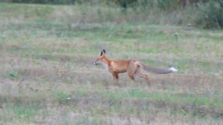 presa : Wild Fox in the clearing. Soft focus