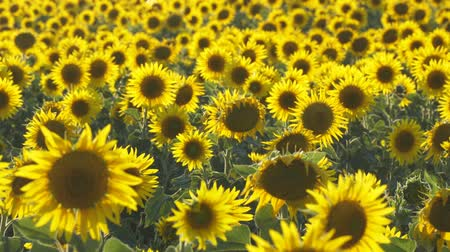 sin limites : Yellow flowers of sunflowers on the field. Camera panning Archivo de Video
