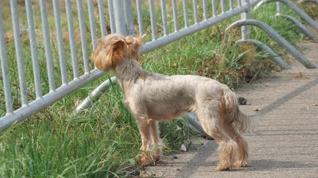 poo : Small trimmed dog breed Yorkshire Terrier runs on the pavement, and then goes next to the owner Stock Footage