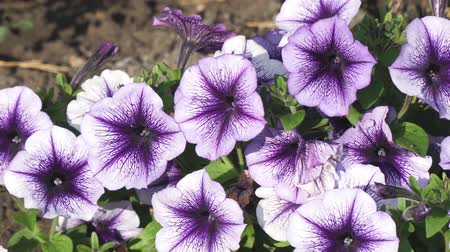 otsu : Purple Petunia flowers in the garden. Selective focus. Camera panning