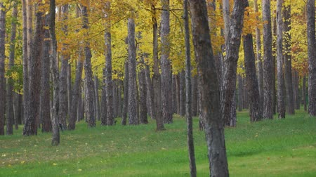 outonal : Tree trunks in the autumn Park on the background of yellow foliage. Soft focus.Selective focus. Camera paning