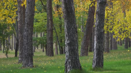 outonal : Tree trunks in the autumn Park on the background of yellow foliage. Falling leaves. Selective focus
