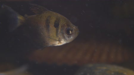 aksan : Tropical fish Black Skirt Tetra in the aquarium. Gymnocorymbus ternetzi Stok Video