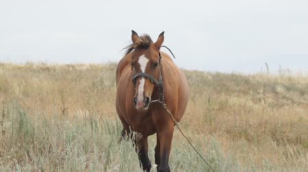 パドック : Portrait of a brown horse. Brown horse on a leash walks in a meadow in front of the camera