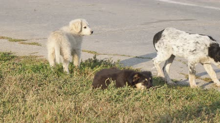 animal adoption : Little homeless puppies of white and black color on the grass by the asphalt road