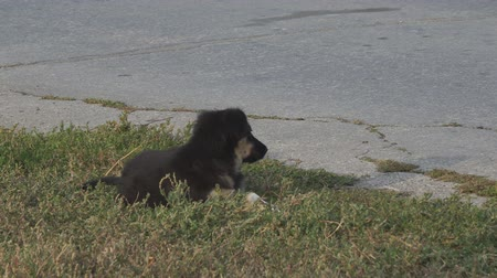 fajtatiszta kutya : A small homeless black puppy lying on the grass beside the asphalt road and waving his tail