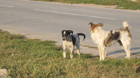 animal adoption : Two stray dogs play on the grass by the asphalt road