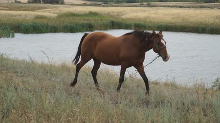 tête de cheval : Portrait of a brown horse. Brown horse on a leash walks in a meadow in front of the camera on the background of a pond or lake. Horse grazing in a meadow Vidéos Libres De Droits