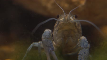 kerevit : Marble river crayfish under water eating algae. Procarambus virginalis. Close up