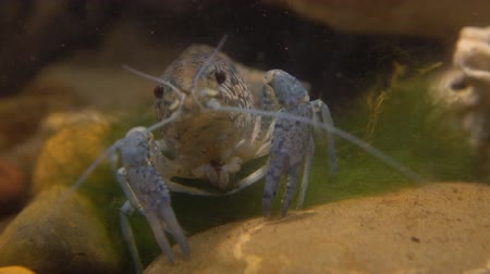 икра : Marble river crayfish under water eating algae. Procarambus virginalis. Close up