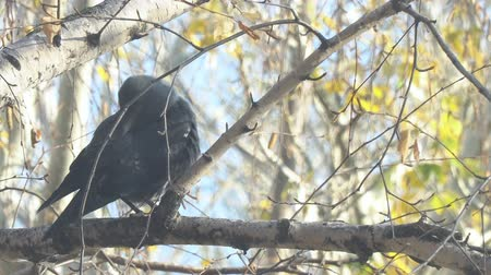 Jackdaw sitting on a birch branch among the yellow autumn leaves