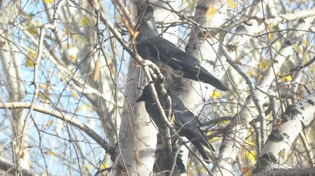 birdie : Two Jackdaw sitting on a birch branch among the yellow autumn leaves, and then fly away