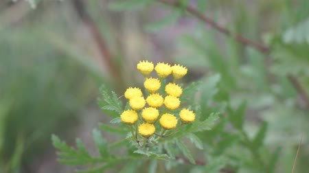 Yellow flowers of wild tansy in the wind. Tanacetum vulgare