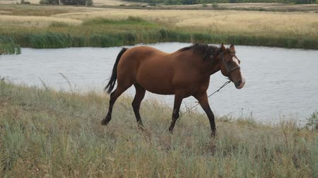 Portrait of a brown horse. Brown horse on a leash walks in a meadow in front of the camera on the background of a pond or lake. Horse grazing in a meadow Stock Footage