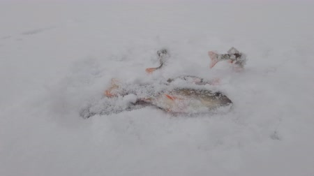 levrek : Ice fishing. Fish in the snow. Perch and roach