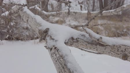 The camera slides along the Thick Branch of a fallen tree covered in snow in cloudy twilight weather. Стоковые видеозаписи