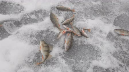 Fish river perch is in the ice. Winter ice fishing