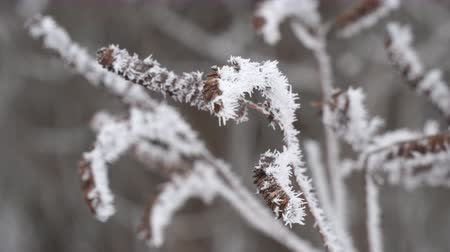 White Hoarfrost on the thin twigs of a Bush in cloudy, foggy weather