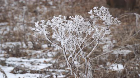 Hoarfrost on the twigs of the plant of a dry plant in cloudy, foggy weather Stock Footage