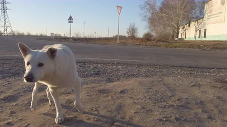Distrustful white dog by the road