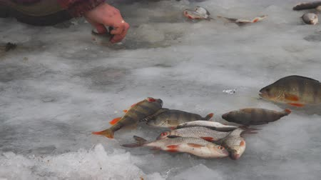 Fisherman collects caught fish that lies on ice. Winter fishing. Fish on the ice. Perch and roach