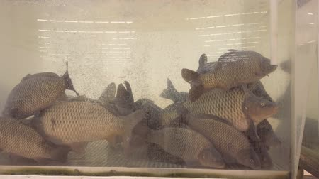 Freshwater carp fish swim in an aquarium in a large fish store selling live fish Стоковые видеозаписи