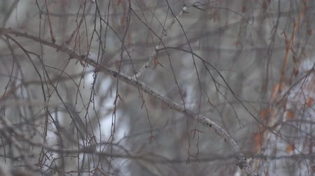 Fine snow falling in the thin branches of birch. Selective focus Stockvideo