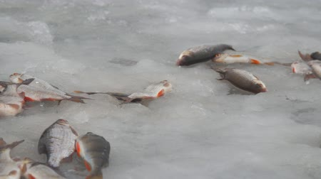 Winter fishing. Fish on the ice. Perch and roach