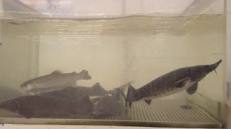 Freshwater fish trout, sturgeon and salmon swim in an aquarium in a large fish store selling live fish
